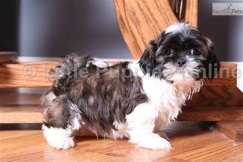 free shih tzu puppies in ohio shih tzu puppy for sale near columbus ohio 9136a4c1 37d1