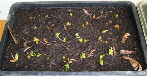 Welche Erde F R Tomaten 4981 by Blumenerde Oder Anzuchterde Hausgarten Net