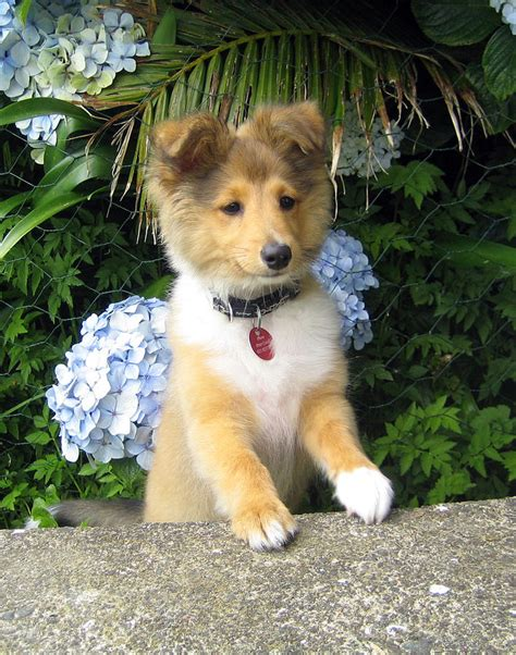 mini sheltie puppies sheltie puppy breeds picture