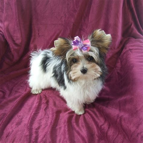 parti yorkie pin parti yorkies pups terriers for sale on