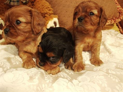 cavalier puppies for sale cavalier king charles puppies for sale doncaster south pets4homes