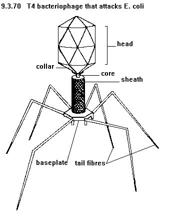 T4 Bacteriophage Labeled Diagram
