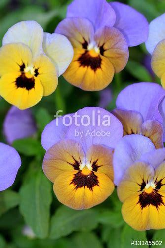 foto di fiori viole quot fiori di viole pensiero o viola tricolor o pans 232