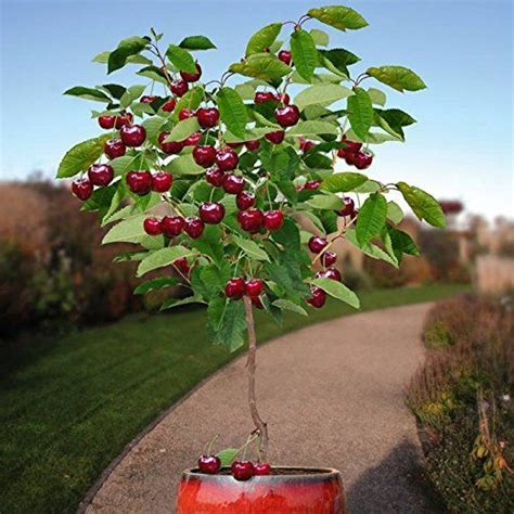 cherry tree strain 10 seeds cherry tree self fertile fruit tree indoor outdoor fruit