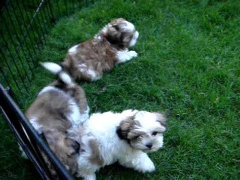 shih tzu puppies toronto shih tzu puppies for adoption toronto on canada