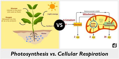cell energy photosynthesis and respiration section 6 1 answers difference between photosynthesis and cellular respiration