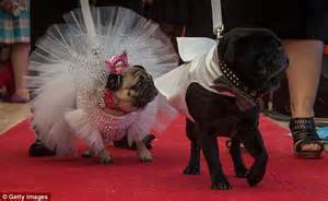 pug in wedding dress dogs and jasper in a melbourne side wedding daily mail