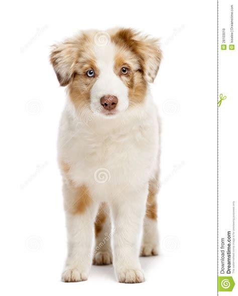 3 month puppy australian shepherd puppy 3 months stock image image 28103019
