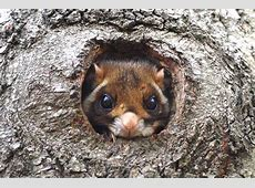 Animal of Japan — Encyclopedia of Japan Japanese Giant Flying Squirrel
