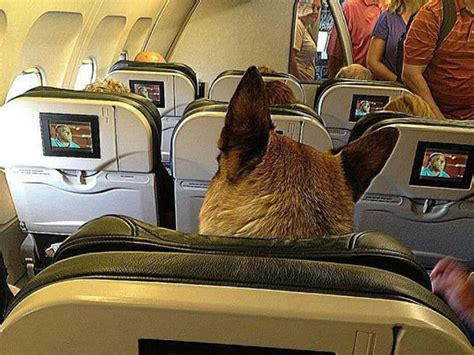 puppy on plane doberman forum doberman breed forums flying with your dobers