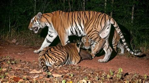 tiger rubber st new asian roads could end of the road for tigers