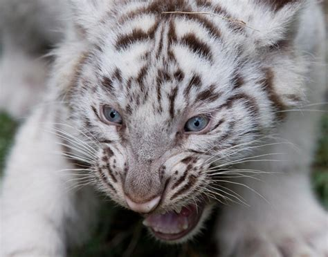 Baby White Tiger baby white tiger cub photos most delightful baby