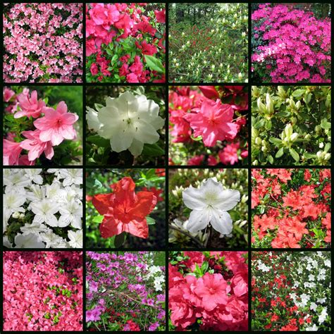 azalea colors finding my garden april 2011