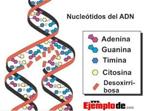 cadena de adn de 15 nucleotidos los nucle 243 tidos