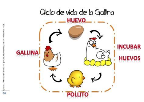 ciclo de vida del pollo para colorear e imprimir apexwallpaperscom los ciclos de la vida