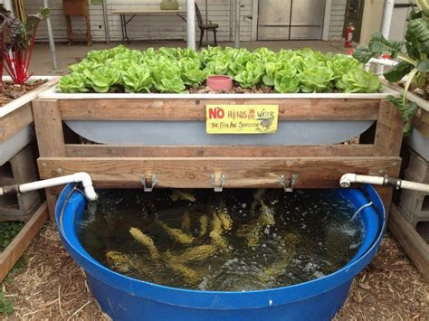backyard aquaponics gardening pinterest