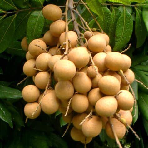 Bibit Buah Kelengkeng bibit tanaman buah kelengkeng river pusaka dunia