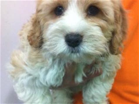 boats for sale townsville trading post for sale cavoodle cavalier x toy poodle