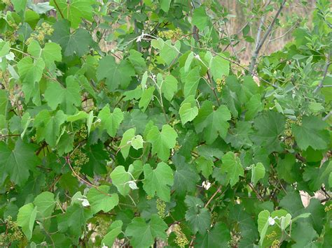 woody climbing plant mojave desert large shrubs and vines