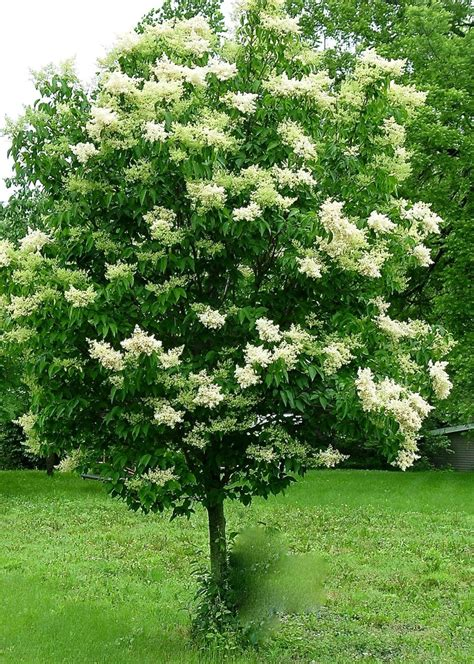 lilac tree japanese lilac tree growth rate images