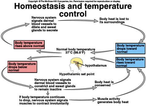 basic feedback mechanisms thermoregulation sbi 4u website