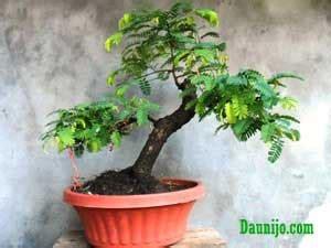 Bakalan Bonsai Asam oprek lagi bonsai asam potong pendek agar til lebih cantik daun ijo