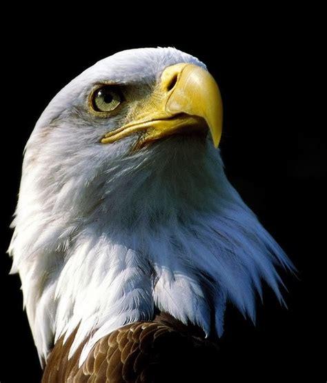 foto burung elang kumpulan gambar foto binatang hewan flora fauna