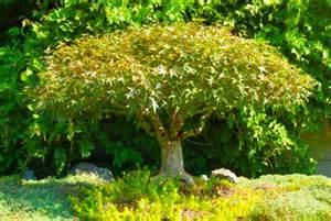 dwarf trees and photos of small trees for landscaping near
