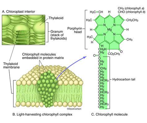 chlorophyll diagram chlorophyll molecular structure carlson stock