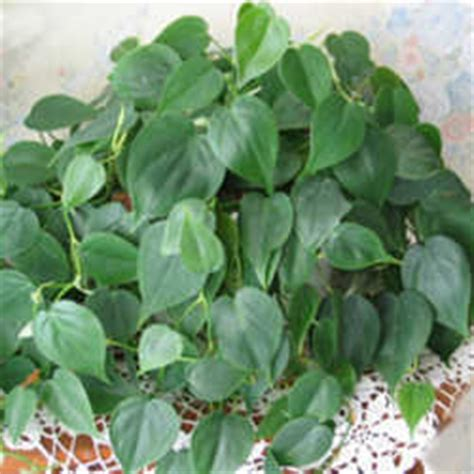 common house plant with shaped leaves houseplants for low light dave s garden