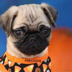 local pug breeders 1000 ideas about pug puppies for sale on pug puppies pug and puppies for