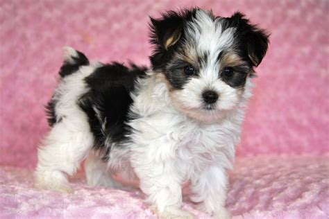 tri color yorkie tri colored morkie maltese terrier