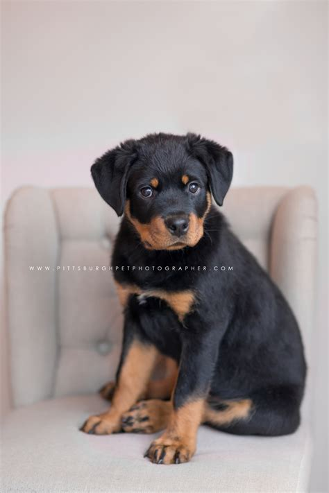 pittsburgh puppies brutus the rottweiler puppy pittsburgh photography 187 paw prints pet portraits