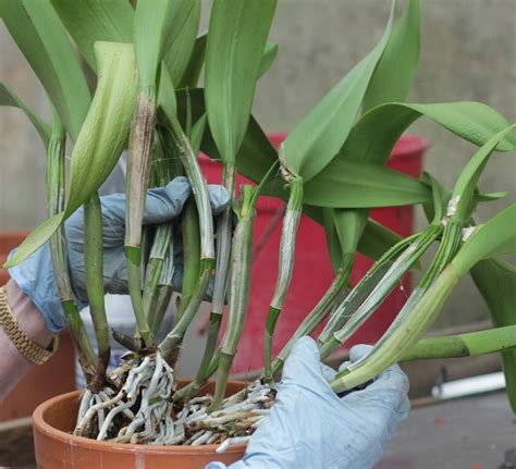 repotting cattleya other sympodial orchids