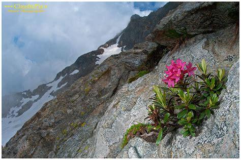 fiori di montagna foto fiori di montagna flowers altitude flores de altitud