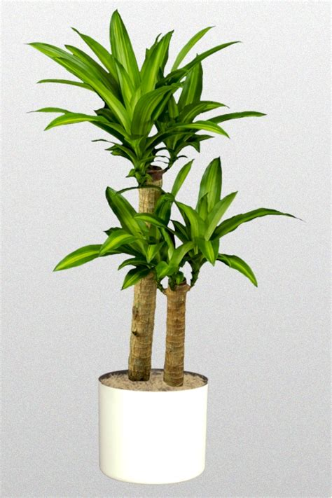 dracaena fragrans dracaena fragrans massangeana superior plantscapes