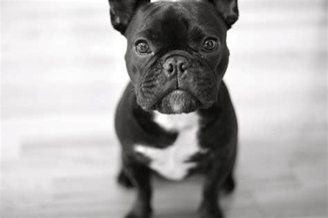 black bulldog puppy bulldog my rocks