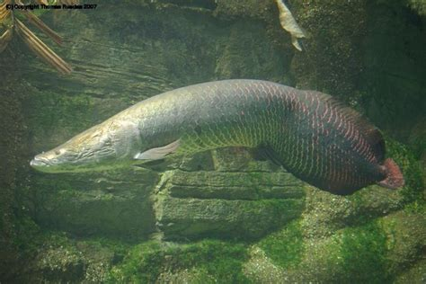 amazon fish the arapaima fish is also known as the pirarucu and is