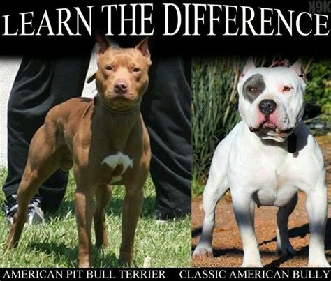 american bully pitbull puppies 1000 images about american bully on american pit photoshoot and