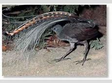 Superb Lyrebird (Birds) Lyrebird Song