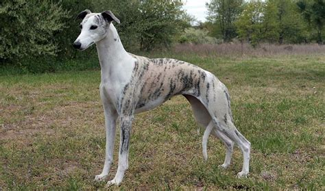whippet breed whippet breed information
