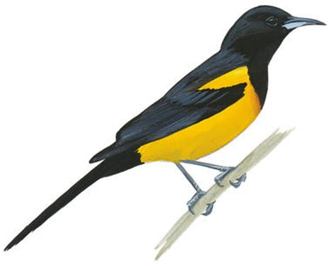 histories of american blackbirds orioles tanagers and allies classic reprint books blackbirds and orioles audubon