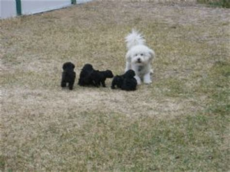 puppies for sale in killeen tx miniature poodle puppies in