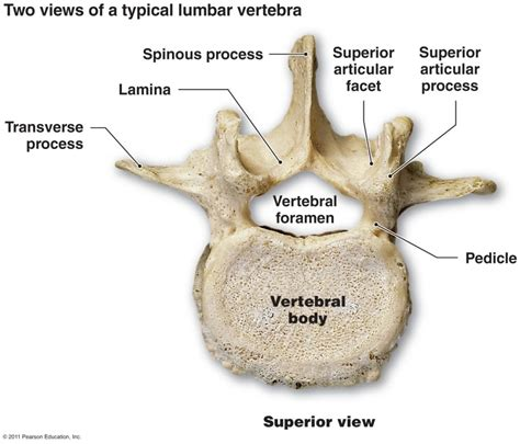 diagram of human spine labeled vertebrae diagram anatomy human