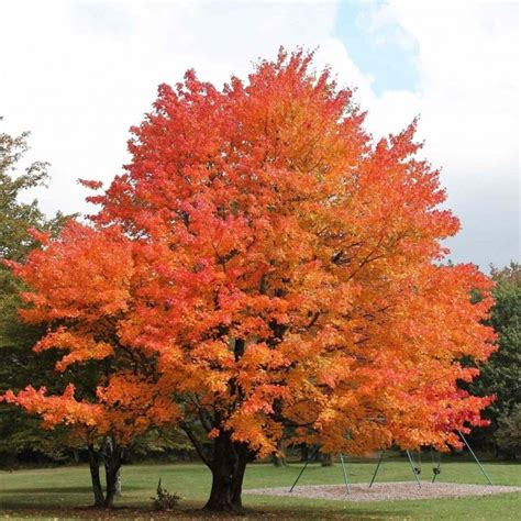maple tree not sugar maple northern acer saccharum 15 seeds 139