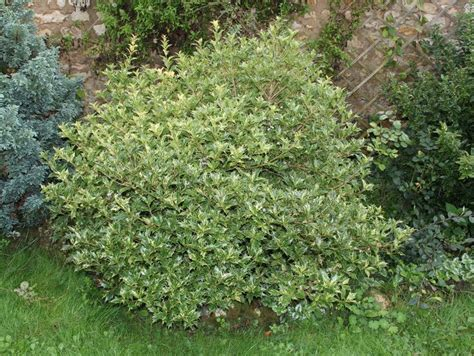 69 best images about deer resistant shade evergreen shrubs for md dc va on pinterest white