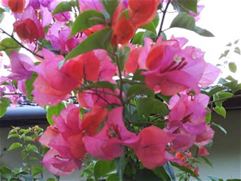 Tanaman Hias Ravenia Spectabilis utikouw s kembang kertas