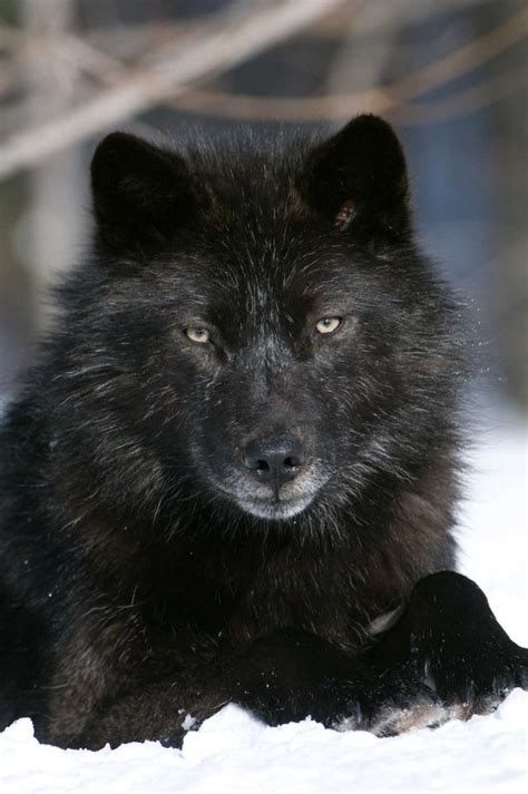 black wolf 17 best images about romeo on pinterest the residents