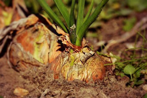 Comment Planter L Oignon by Planter Oignon Quand Et Comment