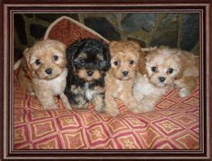 cavapoo puppies az cavapoo puppy pugs and kisses types of dogs puppys and baby dogs